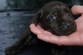Foto 2 Labrador Welpen abzugeben