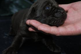Foto 4 Labrador Welpen abzugeben