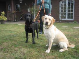 Foto 2 Labrador-Welpen in allen Farben aus Familienzucht !