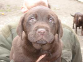 Foto 2 Labrador Welpen in braun und blond
