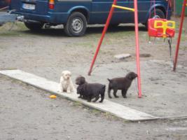 Foto 3 Labrador Welpen in braun und blond