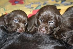Labrador Welpen choco / braun mit Papieren