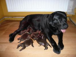 Labrador Welpen chocolade
