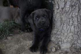 Labrador Welpen ind silber und charcoal ab sofort abzugeben!