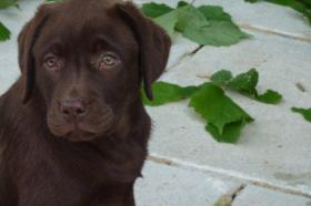 Labrador Welpen schokobraun