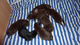 Foto 2 Labrador Welpen schokobraun und schwarz suchen Mitte Dez. neues zuhause