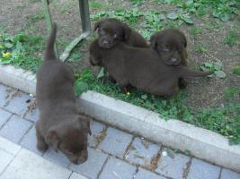 Labrador Welpen schokobraun  suchen ab Ende Mai neues zu Hause