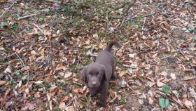 Foto 2 Labrador Welpen schokobraun  suchen ab Ende Mai neues zu Hause