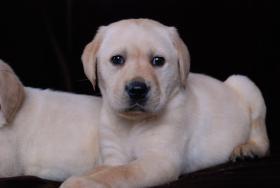 Labrador Welpen schwarz und blond suchen ab Ende August neues zu hause