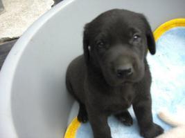 Foto 2 Labrador Welpen schwarz und blond suchen ab Ende August neues zu hause