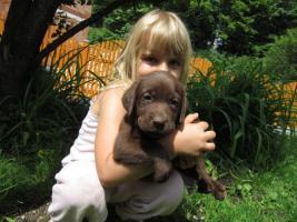 Labrador Welpen schwarz und braun suchen neues zu Hause