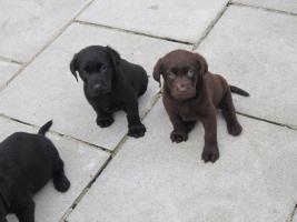 Foto 2 Labrador Welpen schwarz und braun suchen neues zu Hause