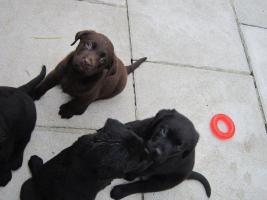 Foto 3 Labrador Welpen schwarz und braun suchen neues zu Hause