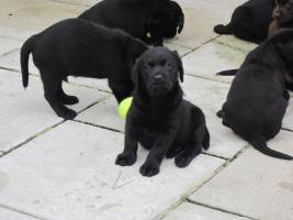 Foto 4 Labrador Welpen schwarz und braun suchen neues zu Hause