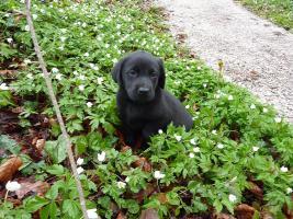 Labrador Welpen schwarz aus erstklassiger Zucht Abgabe Anfang Mai