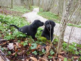 Foto 2 Labrador Welpen schwarz aus erstklassiger Zucht Abgabe Anfang Mai
