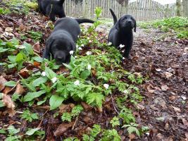 Foto 3 Labrador Welpen schwarz aus erstklassiger Zucht Abgabe Anfang Mai