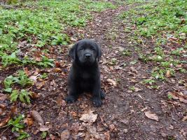 Foto 4 Labrador Welpen schwarz aus erstklassiger Zucht Abgabe Anfang Mai