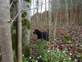 Foto 5 Labrador Welpen schwarz aus erstklassiger Zucht Abgabe Anfang Mai