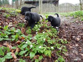 Foto 6 Labrador Welpen schwarz aus erstklassiger Zucht Abgabe Anfang Mai