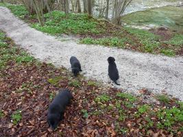 Foto 8 Labrador Welpen schwarz aus erstklassiger Zucht Abgabe Anfang Mai
