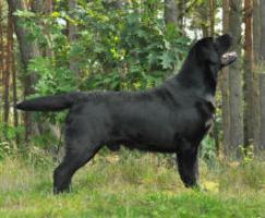 Labrador Welpen schwarz und gelb, TOP Qualit�t