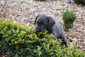 Labrador Welpen in silber und charcoal