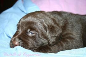 Labrador Welpen zu vergeben
