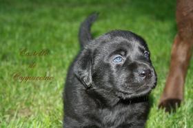 Foto 3 Labrador Welpen zu vergeben