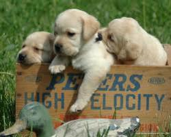 Labrador Welpen verkaufen