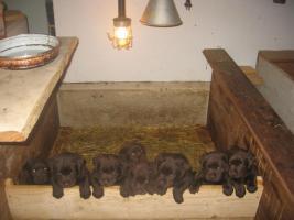 Foto 4 Labrador Welpen zu verkaufen