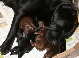 Labrador Welpen. 1 Rüde schwarz, 1 Rüde braun. VDH-Ahnentafel