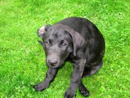 Labrador-Welpen - HD freie Linie
