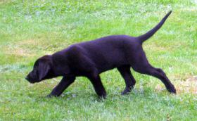 Foto 2 Labrador-Welpen - HD freie Linie