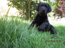 Foto 4 Labrador Welpen  aus dem Salzkammergut