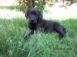 Foto 5 Labrador Welpen  aus dem Salzkammergut