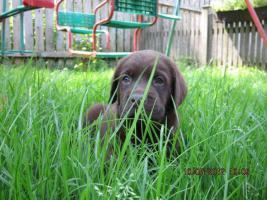 Foto 9 Labrador Welpen  aus dem Salzkammergut