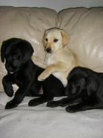 Foto 2 Labrador Welpen, süße Labrador Welpen suchen neue Besitzer
