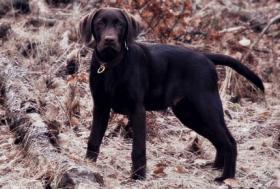 Labrador braun 5 monate alt