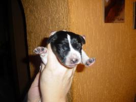 Foto 2 Labrador mix welpen ab zugenen ab 15.2.13