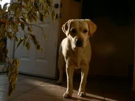 Foto 5 Labrador retriever Hündinen mit Stammbaum