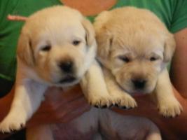 Labrador retriever TOP Qualität WELPEN