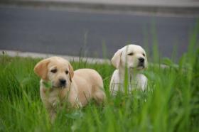 Foto 6 Labrador welpen