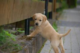 Foto 8 Labrador welpen