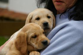 Foto 4 Labrador welpen