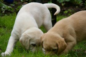 Foto 5 Labrador welpen