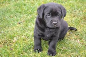 Foto 2 Labrador, Labrador Retriever