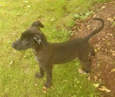 Labrador - Mix - Hündin 16 Wochen alt