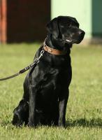 Labrador, Rüde, schwarz, geb. September 2009, sucht neues Zuhause