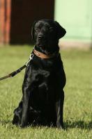 Foto 3 Labrador, Rüde, schwarz, geb. September 2009, sucht neues Zuhause